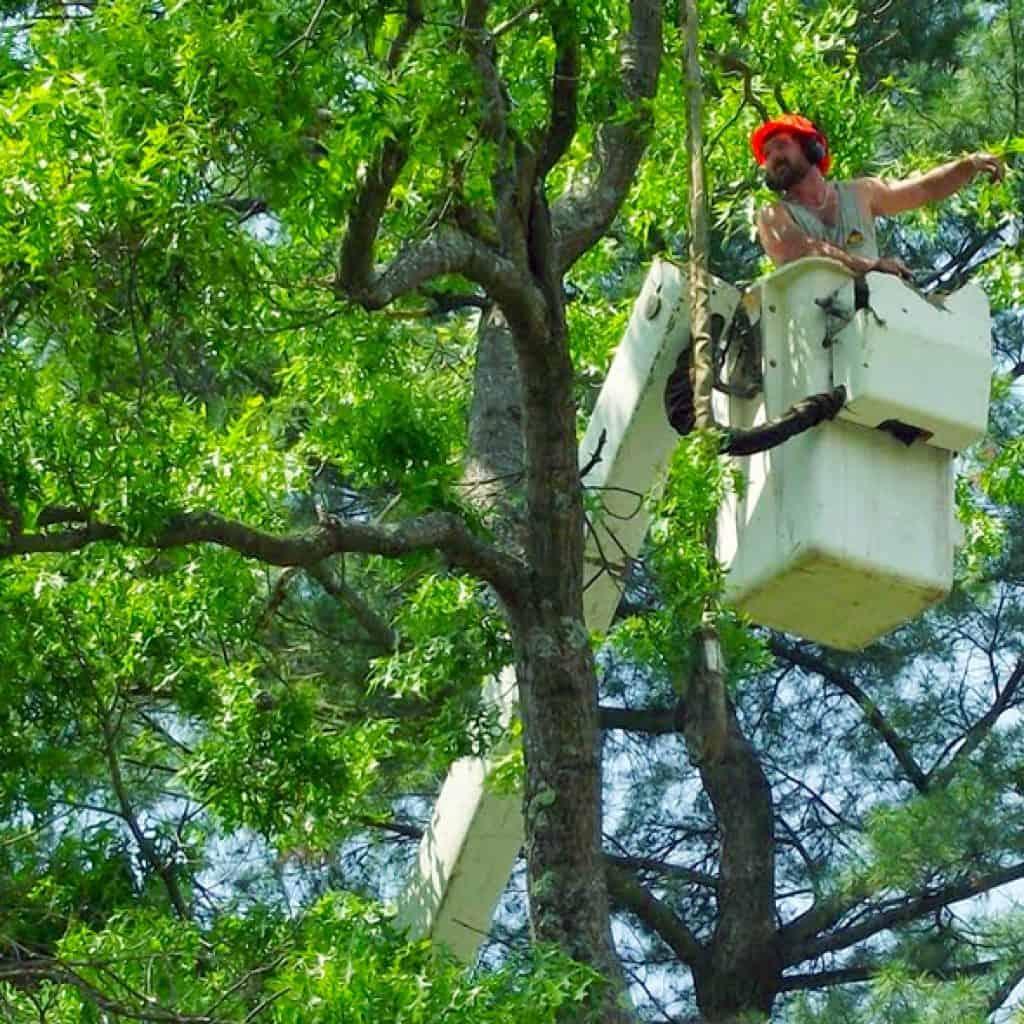 Veszélyes fa kivágása | Toldi György - Profi fakivágás